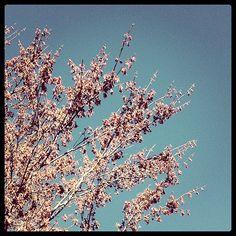 Hedge Maple 4