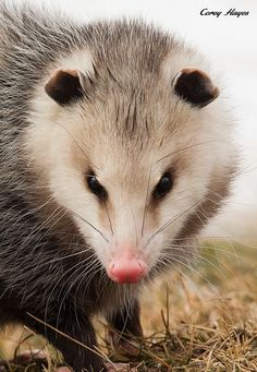 tiny-creatures:  Opossum by Corey Hayes on Flickr.