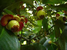 Mangosteen tree http://www.manfaat-kulitmanggis.com/2014/01/manfaat-kulit-manggis.html