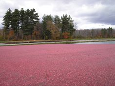 Cranberries waiting to be harvested - Bala Ontario