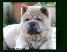 chow chows puppy - fawn smooth