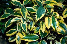 Elaeagnus × ebbingei 'Gilt Edge'. Silvery backed leaves. 3 m x 3 m. Evergreen. Broadly ovate dark green leaves margined with yellow.