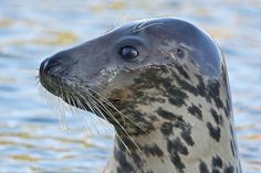 Kegelrobbe (Halichoerus grypus) / Horsehead seal photo: Klaus Werning  https://www.facebook.com/photo.php?fbid=348656045296580