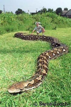 Anaconda Snake facts, fights, size, length and attacks Les Reptiles, Cute Reptiles, Reptiles And Amphibians, Giant Animals, Scary Animals, Funny Animals, Anaconda Gigante, World Biggest Snake, Snake Breeds