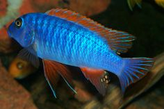 Red Top Trewavasae Cichlid.-my second favorite African Cichlid after the Fuelleborni who is chubbier-Louise Glass