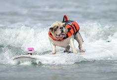 Betsy, un bouledogue anglais de 7 ans, très à l'aise lors de la compétition annuelle de surf pour chiens à San Diego (Californie), le 8 juin 2012. | GUS RUELAS / REUTERS