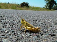 Why did the grasshopper cross the road?