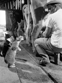 Cats Blackie and Brownie Catching Squirts of Milk During Milking at Arch Badertscher's Dairy Farm Stampa fotografica