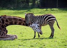 This lofty giraffe has found the perfect solution for a pain in the neck - a massage from a friendly zebra. Gerald the giraffe has become close friends with male. Unusual Animal Friendships, Unlikely Animal Friends, Unusual Animals, Animals Beautiful, Animals And Pets, Baby Animals, Funny Animals, Cute Animals, Wild Animals
