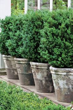 Count on these handsome shrubs to fill your containers with style. More Count on these handsome shrubs to fill your containers with style. Container Herb Garden, Container Gardening Vegetables, Container Plants, Vegetable Gardening, Organic Gardening, Container Flowers, Succulent Containers, Flower Gardening, Gardening Tips