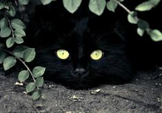 Black cat, eyes of gold...