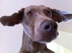If weimaraners could fly: Ziggy as seen from below.