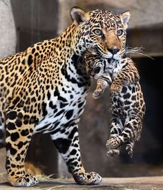 San Diego Zoo: Jaguar mom Nindiri and her one-month-old cubbie. I think jaguar might just be the most beautiful of all the cats; I mean LOOK at her! And the baby's little dangling feets, aww. <3