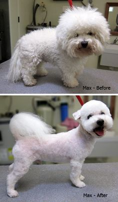 Five Dog Grooming Tips and Tricks Haircut Style bichon frise haircut styles Maltipoo Haircuts, Dog Haircuts, Dog Grooming Styles, Dog Grooming Tips, Cortes Poodle, Pet Shop, Dog Dye, Poodle Haircut, Dog Search