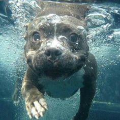 Adorable Pitbull Underwater <3