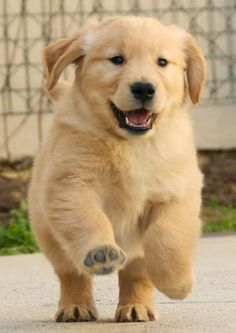 Golden Retriever Puppy-- this picture is pure happiness. God I love dogs. You will never find a more loving, joyful, and might I add, forgiving Cute Puppies, Cute Dogs, Dogs And Puppies, Doggies, Baby Animals, Funny Animals, Cute Animals, Retriever Puppy, Baby Dogs