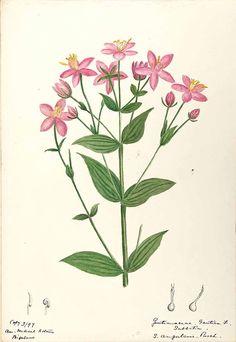 206353 Sabatia angularis (L.) Pursh / Sharp, Helen, Water-color sketches of American plants, especially New England,  (1888-1910) [Helen Sharp]