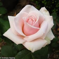 rose photograph - Google Search