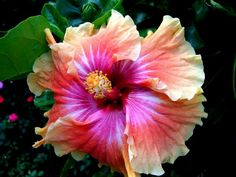 Hibiscus-my hubby just bought me a bush of these. The picture doesn't do them justice, they're breath-taking!!
