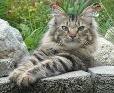 The Care & Keeping Of Your Maine Coon Cat http://www.mainecoonguide.com/adopting/