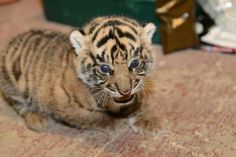 Sumatran tiger cub at the National Zoo