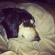 Des nouvelles de HOOVER'S COPINE d'An Naoned  qui réside en Belgique  Femelle Basset bleu de Gascogne née le 03/05/12 (Elite d'An Naoned x Estoc des Souches Nereennes)  Mr Delahaye  #basset #bassetbleudegascogne #dog #chien #hund #cani #pet #doglovers #bassetlovers #doglove #bassetoftheday #dogmasternews