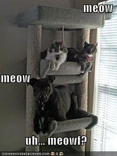 Fitting In. I have 2 cats and a large dog. He definitely does things the cats do because he wants to be included. He just doesn't understand that he is as big as he is! Cute Funny Animals, Funny Cute, Funny Animal Pictures, Cute Cats, Animals Doing Funny Things, Funniest Pictures, Daily Pictures, Dog Pictures, Facebook Humor