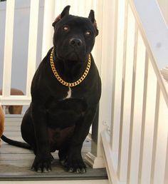 Gold Cuban Link Stainless Steel Luxury Dog Choke Chain/Collar