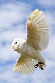 Barn Owl 3 by SnowPoring༻神*ŦƶȠ*神༺   <3