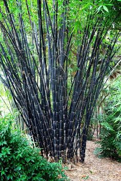 Black Asper, The largest black bamboo, Black Asper is very vigorous. A most impressive giant, with highly valued timber. You will need plenty of room for this species. Bamboo Seeds, Bamboo Plants, Garden Plants, Black Bamboo Plant, Unusual Plants, Exotic Plants, Tropical Garden, Tropical Plants, Bamboo Species