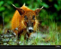 African bush pig / Pinselohrschwein photography.nationalgeographic.com