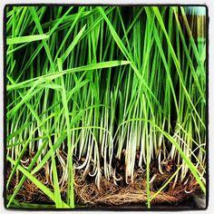 """Lemon Grass Foglie Tagliate  Conosciuto anche con il nome di """"citronella"""" è ideale con carni bianche, pesce, crostacei, zuppe, frutta fresca e ricette della cucina asiatica.  Provenienza: Thailandia"""