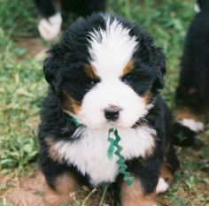hopefully... ill be getting one of these soon!!! and i think her name will be bonnie blue!!