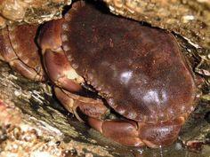 Cornish Edible Crab