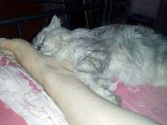 Persian cat Romeo (17 months old) sleeps on the foot of his human mom.