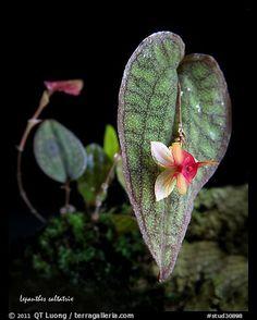 Lepanthes saltatrix. A species orchid (color)