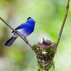 A Male Black-Naped Monarch With Babies.