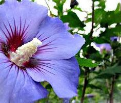 Paarse Hibiscus .