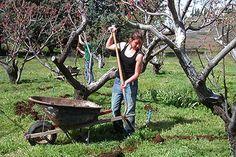 Aplicarea îngrășămintelor este esențială pentru livadă deoarece un sol bogat și…