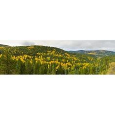 Aspen hillside in autumn Sangre De Cristo Mountains Angel Fire New Mexico USA Canvas Art - Panoramic Images (15 x 5)