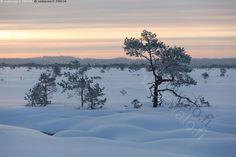 Sininen hetki aamulla - talvi kuura huurre kuuraa huurretta Torronsuo suo suomaisema kitukasvuinen talvinen mänty männyt mäntyjä suomänty Torronsuon kansallispuisto kuurainen huurteinen lumikumpu lumikummut hanki lumipeite aamurusko