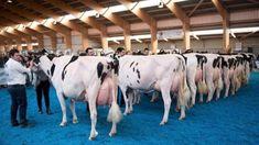Gado Leiteiro, American Beef, Gyr, Beef Cattle, Natural Selection, Friesian, Best Teacher, Fun Learning