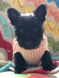 Scottish terrier puppy Scottish Terrier Puppy, Scottie Dogs, Puppies, Animals, Cubs, Animales, Animaux, Scottish Terrier, Animal
