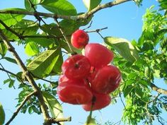 Macopa = It is a pinkish juicy fruit which is rich in calcium.
