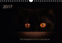 Schokoladige Britisch Kurzhaar Katzen - CALVENDO Kalender von Janina Burger