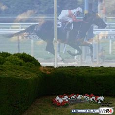 38 years ago today, in a private moment for those closest to her, the legendary Ruffian was laid to rest in the Belmont Park infield. She was the first horse to be buried at one of the three New York tracks. Her gravestone is visible today, in the middle of a horseshoe-shaped hedge at the base of the NYRA flagpole. Most Beautiful Animals, Beautiful Horses, Beautiful Creatures, Pretty Horses, Horses And Dogs, Show Horses, Animal Heros, Events Place, Horse Ears