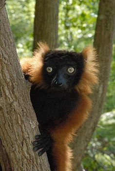 Madagascan red ruffled lemur .  These enchanting creatures are unique to the island. Guardian