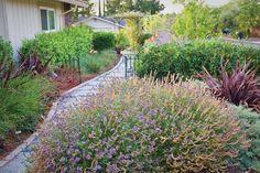 Replace Your Lawn with Grass Alternatives—Dryland beauty lilac verbena (V. lilacina 'De La Mina') enlivens a drought-tolerant landscape.