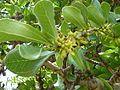 Strychnos Madagascariensis, blomme en jong vrugte     Black Monkey-berry     Swartklapper     S A no 626   Seringveld.