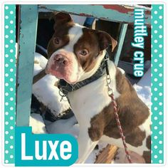 Please Please Please SHARE our Luxe! This boy has been looking for a forever home with Muttley Crue for 497 days!! He was found outside of Luxe Nightclub in Ohio City on September 23, 2013. Muttley Crue stepped in to help this boy and he has been waiting for a family to love him ever since! Luxe is a loving, sweet and strong boy. He is estimated to be three years old and is an American Bulldog mix. He is gentle and bonds easily to the ones he loves! Luxe is both treadmill and obedience…
